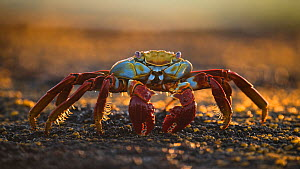 Sally lightfoot crab (Grapsus grapsus) feeding on algae from the rocks, Fernandina Island, Galapagos. - Roy Mangersnes