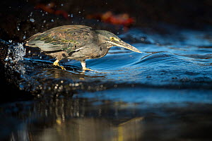 Striated heron (Butorides striata) fishing in the surf, Fernandina Island, Galapagos.  -  Roy Mangersnes
