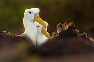 Waved albatross (Phoebastria irrorata) pair during courtship,  Espanola Island, Galapagos.  -  Roy Mangersnes
