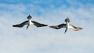 Blue-footed booby (Sula nebouxii) diving for fish off the coast of San Cristobal Island, Galapagos. - Roy Mangersnes