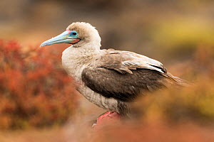 Red-footed booby (Sula sula) preening on San Cristobal Island, Galapagos. - Roy Mangersnes