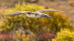 Blue-footed booby (Sula nebouxii) flying,  San Cristobal Island, Galapagos. - Roy Mangersnes