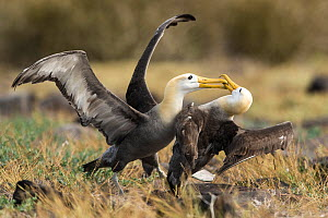 Waved albatross (Phoebastria irrorata) two fighting on Espanola Island, Galapagos.  -  Roy Mangersnes