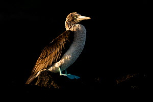Blue-footed booby (Sula nebouxii) resting on the rocks at sunset, Floreana Island, Galapagos. - Roy Mangersnes