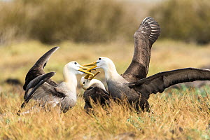 Waved albatross (Phoebastria irrorata) two fighting, Espanola Island, Galapagos.  -  Roy Mangersnes