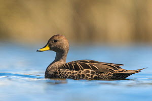 Yellow-billed pintail (Anas georgica) on a small lake, Salisbury Plains, South Georgia.  -  Roy Mangersnes