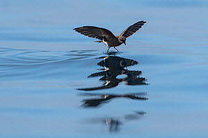 Elliot's storm-petrel (Oceanites gracilis) feeding on the surface near the west coast, Isabela Island, Galapagos.  -  Roy Mangersnes