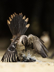 Galapagos mockingbird (Mimus parvulus) in territorial fight on Genovesa Island, Galapagos.  -  Roy Mangersnes
