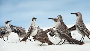 Espanola mockingbirds (Nesomimus macdonaldi) aggression between two groups, Espanola Island, Galapagos.  -  Roy Mangersnes