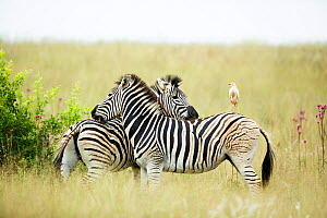 Two  Burchell's zebra (Equus quagga burchellii) mutual grooming with a Cattle egret (Bubulcus ibis) perched on back of one, Rietvlei Nature Reserve, South Africa. - Richard Du Toit