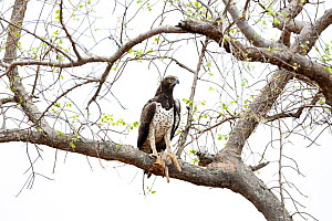 Martial Eagle (Polemaetus bellicosus) perched in tree  with Blackbacked Jackal (Canis mesomelas) prey, Kruger National Park, South Africa  -  Richard Du Toit