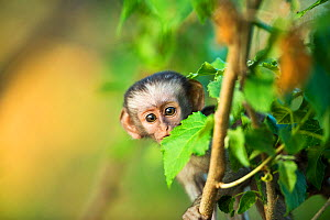Vervet Monkey (Chlorocebus aethiops) infant peering past leaf, Kruger National Park, South Africa; - Richard Du Toit