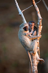 Vervet Monkey (Chlorocebus aethiops) mother and infant, Kruger National Park, South Africa; - Richard Du Toit