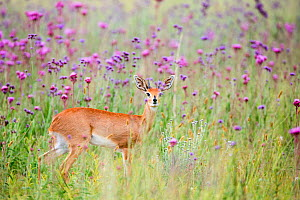 Male Steenbok (Raphicerus campestris) amongst  flowering PomPom weed (Campuloclinium macrocephalum) Rietvlei Nature Reserve,  South Africa  -  Richard Du Toit