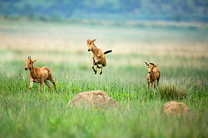 RF - Red hartebeest (Alcelaphus buselaphus) calves playing, one jumping,  Rietvlei Nature Reserve, South Africa (This image may be licensed either as rights managed or royalty free.)  -  Richard Du Toit