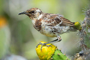 Floreana mockingbird (Nesomimus trifasciatus) perched on flower, from remnant population surviving on two small islets, Galapagos. Critically endangered species.  -  Tui De Roy