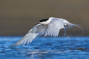 White-fronted tern (Sterna striata) in flight. Ashley River, Canterbury, New Zealand. August. - Andy Trowbridge