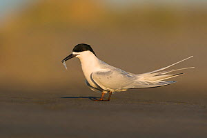 White-fronted tern (Sterna striata) with fish. Ashley River, Canterbury, New Zealand. August. - Andy Trowbridge