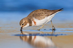 Banded dotterel or double-banded plover (Charadrius bicinctus) feeding in shallow water. Ashley River, Canterbury, New Zealand. July.  -  Andy Trowbridge