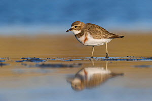 Banded dotterel or double-banded plover (Charadrius bicinctus) standing in shallow water with reflection. Ashley River, Canterbury, New Zealand. July.  -  Andy Trowbridge