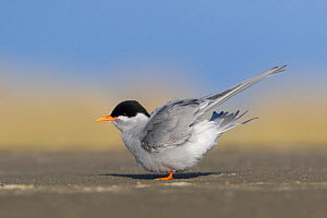 Black-fronted tern (Chlidonias albostriatus) perched on beach, ruffling feathers. Ashley River, Canterbury, New Zealand. July.  -  Andy Trowbridge
