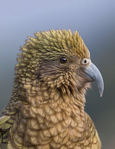 Adult female Kea (Nestor notabilis) portrait. Arthur's Pass, South Island, New Zealand. Endangered Species.  -  Andy Trowbridge