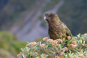 Juvenile Kea (Nestor notabilis) perched in tree daisy (Olearia spp.). Arthur's Pass, South Island, New Zealand. Endangered Species.  -  Andy Trowbridge