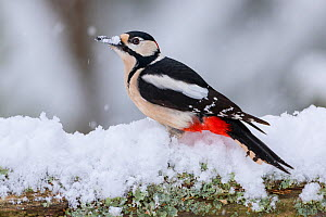 Great Spotted Woodpecker (Dendrocopus major) searching for food in snow, during snowfall. Norway. March. - Andy Trowbridge