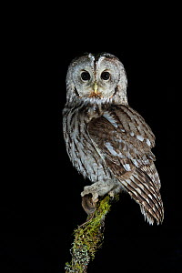 Tawny Owl (Strix aluco) perched on branch with prey, at night. Norway, February.  -  Andy Trowbridge
