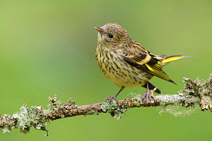 Female Siskin (Carduelis spinus) perched on lichen covered branch. Southern Norway. August.  -  Andy Trowbridge