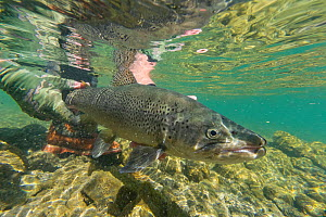 Underwater view of a fly fisherman releasing a large Brown trout (Salmo trutta) in clear 'backcountry' river. Canterbury South Island, New Zealand. February.  -  Andy Trowbridge