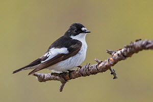 European Pied Flycatcher (Ficedula hypoleuca) perched branch. Norway. June.  -  Andy Trowbridge