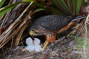 New Zealand Falcon (Falco novaeseelandiae) female feeding chicks at nest. Oreti Valley, South Island, New Zealand. - Andy Trowbridge