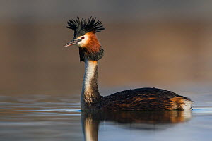 Australasian crested grebe (Podiceps cristatus australis) on water with crest raised, portrait. Ashburton Lakes, Canterbury, New Zealand. September.  -  Andy Trowbridge