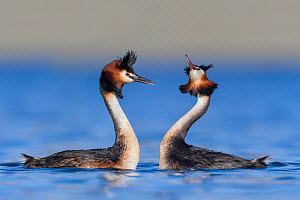 Australasian crested grebe pair (Podiceps cristatus australis) in courtship display. Ashburton Lakes, Canterbury, New Zealand. August.  -  Andy Trowbridge