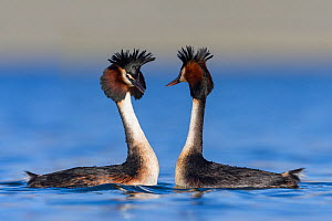 Australasian crested grebe pair (Podiceps cristatus australis) doing courtship display. Ashburton Lakes, Canterbury, New Zealand. August.  -  Andy Trowbridge