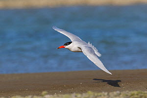 Caspian Tern (Sterna caspia) in flight. Ashley River, Canterbury, New Zealand. August.  -  Andy Trowbridge