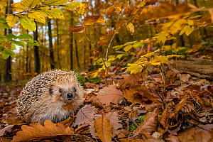 Common hedgehog (Erinaceus europaeus) in forest in autumn, France. Controlled conditions. - Klein & Hubert