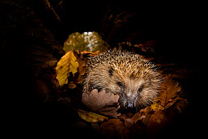 Common hedgehog  (Erinaceus europaeus) checking a hollow trunk as a possible shelter to hibernate. France, Controlled conditions. - Klein & Hubert