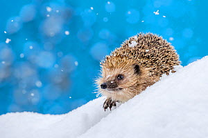 Common hedgehog (Erinaceus europaeus) in the snow, France. Controlled conditions - Klein & Hubert