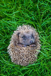 Young orphan Common hedgehog (Erinaceus europaeus) in ball in grass, France. Controlled conditions. - Klein & Hubert