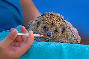 Boy taking care of an Common hedgehog (Erinaceus europaeus) feeding it vitamin paste with a syringe. France. - Klein & Hubert