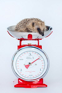 Rescued Common hedgehog (Erinaceus europaeus) on a scale showing minimum weight to be released in the wild. France. Model released - Klein & Hubert
