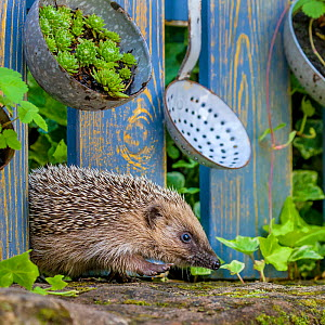 Hedgehog (Erinaceus europaeus)  walking through wooden fence decorated with old kitchen ladles. France. Controlled conditions.  -  Klein & Hubert