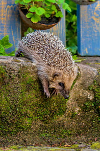 Common hedgehog (Erinaceus europaeus) climbing down mossy step, France. Controlled conditions. - Klein & Hubert