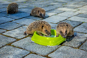 Orphaned young Common hedgehogs (Erinaceus europaeus) drinking cat milk in a bowl in garden, France. - Klein & Hubert
