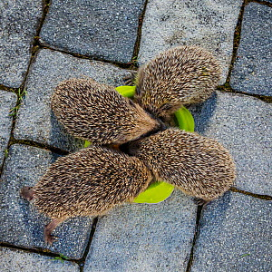 Four orphaned young Common hedgehogs (Erinaceus europaeus) eating cat food in a bowl in garden, France. Controlled conditions. - Klein & Hubert