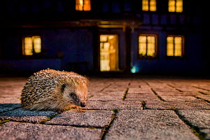Common hedgehog (Erinaceus europaeus) on patio at night, France. Controlled conditions. - Klein & Hubert