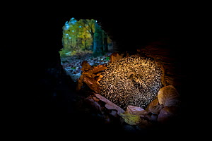 Common hedgehog (Erinaceus europaeus) in autumnal forest at dusk, sleeping in a hollow trunk, France. - Klein & Hubert