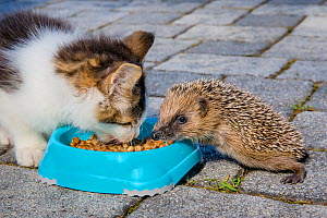 Domestic cat kitten and young orphan Common hedgehog (Erinaceus europaeus) eating from same bowl, France. Controlled conditions. - Klein & Hubert